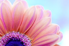 Flower close-up, sunlight from behind Royalty Free Stock Photos
