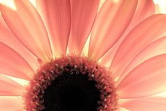 Flower close-up, sunlight from behind Stock Photography