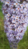 Flower. Close up view of butterfly bush flower Royalty Free Stock Photo