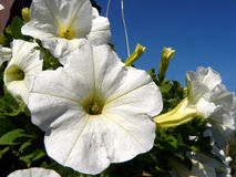 Flower close up. White flowers beautiful in garden Royalty Free Stock Photo