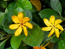 Flower close up. Golden gardenia, yellow flowers beautiful in garden Royalty Free Stock Images