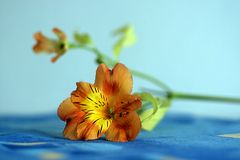 Flower closeup. Flower with close detail, on blue background Stock Photo