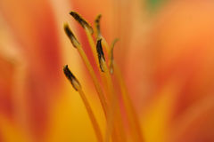 Flower closeup Royalty Free Stock Photography