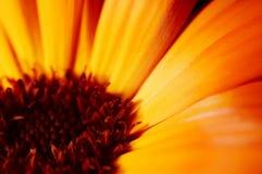 Flower closeup. Marigold flower closeup Stock Photo