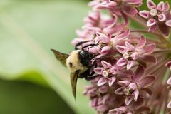 Flower Closeup. Closeup of Swamp Milkweed Wildflower with bees in the wild in the United States of America royalty free stock photo
