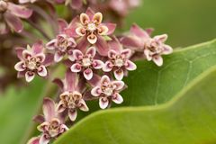 Flower Closeup. Closeup of Swamp Milkweed Wildflower in the wild in the United States of America royalty free stock images