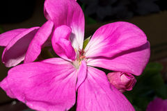 Flower. Closeup cyclamen Stock Images