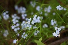 Delicate blue irises. Myosotis alpestris stock images
