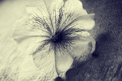 Flower closeup sepia. Flower lies on a wooden Board. Color effect Stock Photography