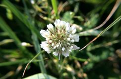 Flower clover, macro photo. Flower clover. The white petals are like small flowers. Beautiful photo with green and white colors that soothe. Can be used as a royalty free stock images
