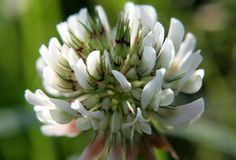 Flower clover, macro photo. Flower clover. The white petals are like small flowers. Beautiful photo with green and white colors that soothe. Can be used as a royalty free stock photos