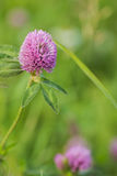Flower clover on a natural summer background in the field Royalty Free Stock Images