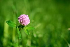 Flower clover Royalty Free Stock Photography