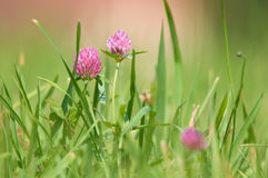 Flower clover Royalty Free Stock Photo