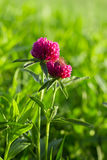 Flower clovers. Flower of a clovers on thee green grass Stock Images