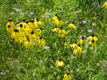 Beautiful Yellow Flower Cluster Nature Meadow Royalty Free Stock Photography
