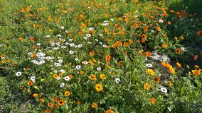 Flower cluster. With carpet of yellow, orange and white flowers Stock Photography