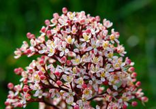 Flower cluster made of small pink flowers stock image