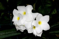 Flower cluster of Plumeria pudica, Fiddle leaf plumeria, Golden Arrow Royalty Free Stock Image