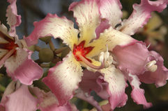 Flower cluster on silk floss tree Royalty Free Stock Photography