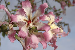 Flower cluster on silk floss tree Royalty Free Stock Images