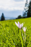 Flower - Colchicum autumnale. Royalty Free Stock Image