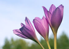 Flower Colchicum Royalty Free Stock Image