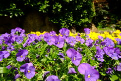 Flower is colerful. Flower is colorful in the garden Stock Photography