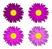 Flower collection of  daisies Isolated on white background. Spring. Pink edition. Royalty Free Stock Images