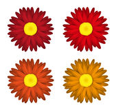 Flower collection of  daisies Isolated on white background. Spring. Red edition. Stock Photography