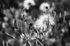 Flower. Without color royalty free stock photography