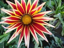 Flower. A colourful flower in red and yellow shade and it is an Indian variety . This picture is captured in greater noida in delhi NCR stock photo