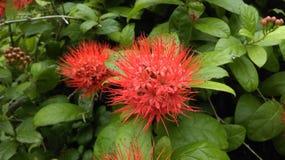 Flower. Combretum erythrophyllum Stock Image