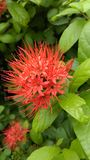 Flower. Combretum erythrophyllum nBurchell Sonderi is a flower name . In Thailand is name is  P็HU A MON Royalty Free Stock Photography