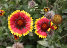 Flower of a common gaillardia Stock Photos