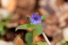 Flower of common lungwort Stock Photography