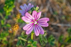 Flower of common mallow. Malva sylvestris Royalty Free Stock Images