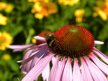 Flower coneflower and honeybee. Honeybee sitting on a flower coneflower Stock Photography