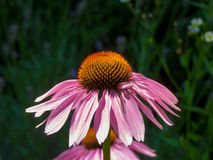 Flower coneflower Stock Photography