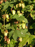 Flower cones of common hop Stock Photo