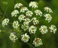 Flower Conium maculatum and insects royalty free stock photos