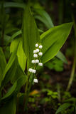 Flower Convallaria Majalis Grow In Forest. Beautiful Flower White Convallaria Majalis With Leaves Grow In Spring Forest Royalty Free Stock Photo