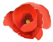 Flower, coquelicot Royalty Free Stock Photos