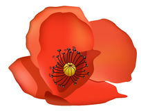 flower,coquelicot Stock Images