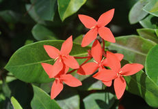 Flower coral orange cluster exotic tropical. Sunny Tropical coral orange  flower group of blooms in the Caribbean  Dominican Republic Royalty Free Stock Photo