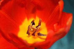 Flower core. Of an orange tulip Stock Photos