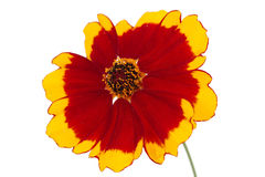 Flower of coreopsis Royalty Free Stock Images