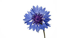 Free Flower Corn-flower On A White Background Royalty Free Stock Photos - 5258158