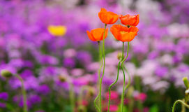 Flower of Corn poppy. Four flower of corn poppy is blooming Royalty Free Stock Photos