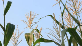 Flower of corn tree with blue sky. Flower of waxy corn tree with blue sky in the morning stock video footage